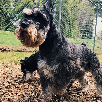 April-9-400x400-schnauzer