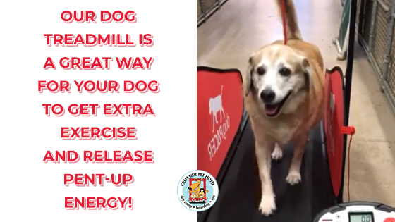 Yellow Lab on Dog Treadmill at Creekside Pet Hotel in Kennesaw, GA