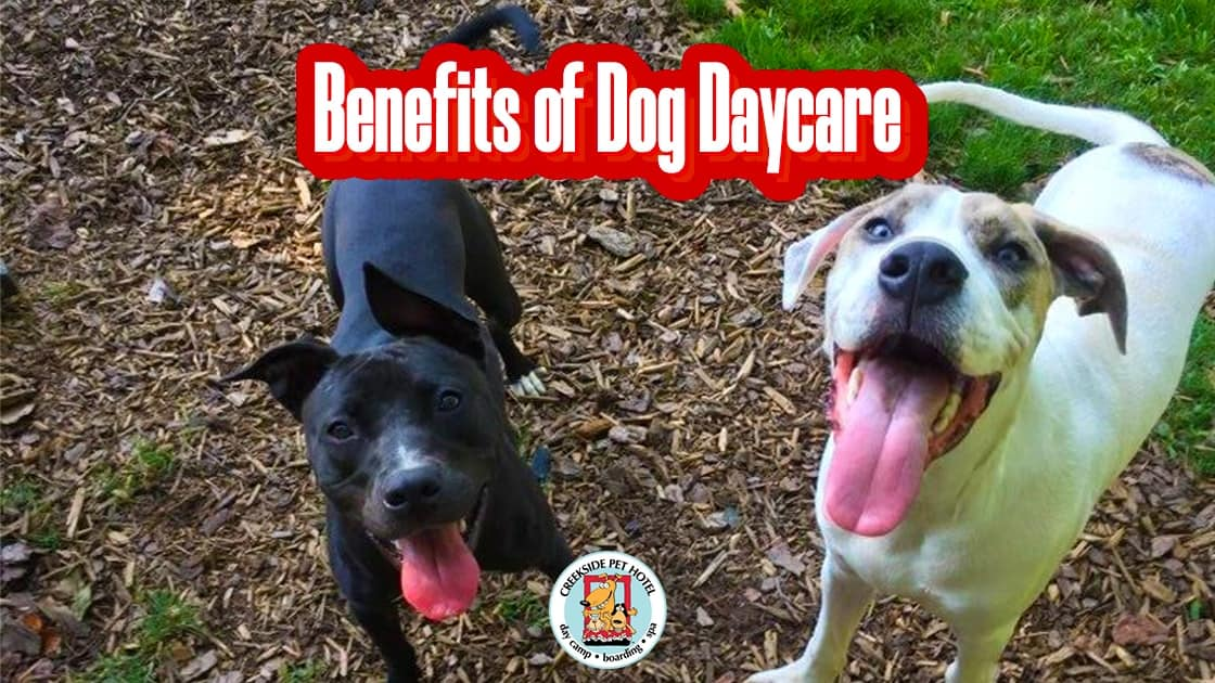 black labrador white rescue dog at atlanta dog daycare