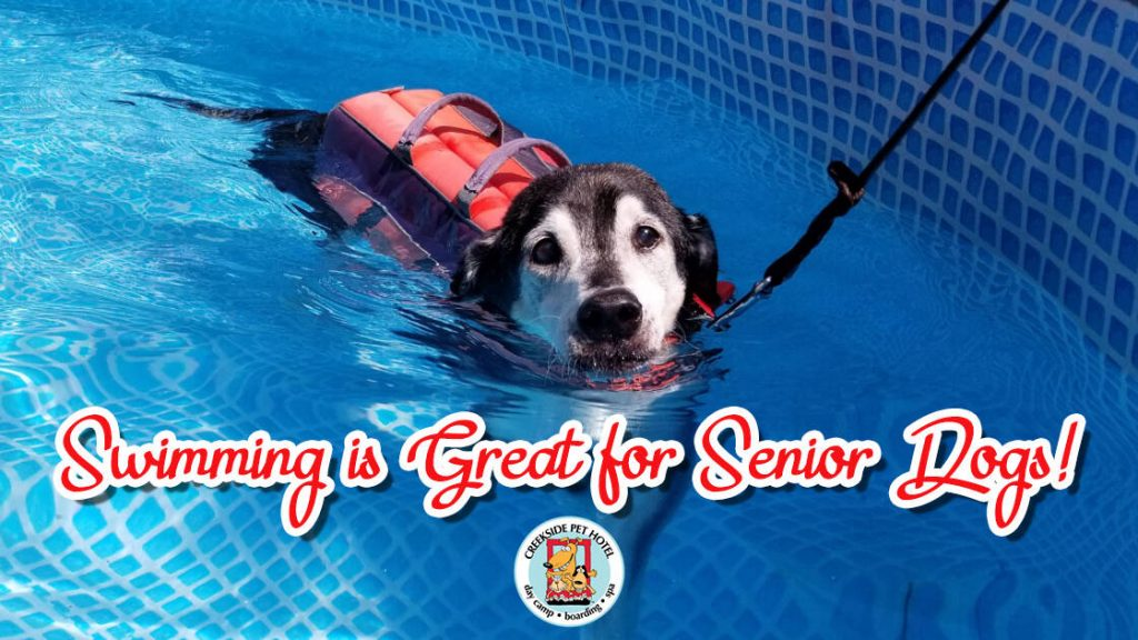 Black and Tan senior mutt dog swimming with life jacket