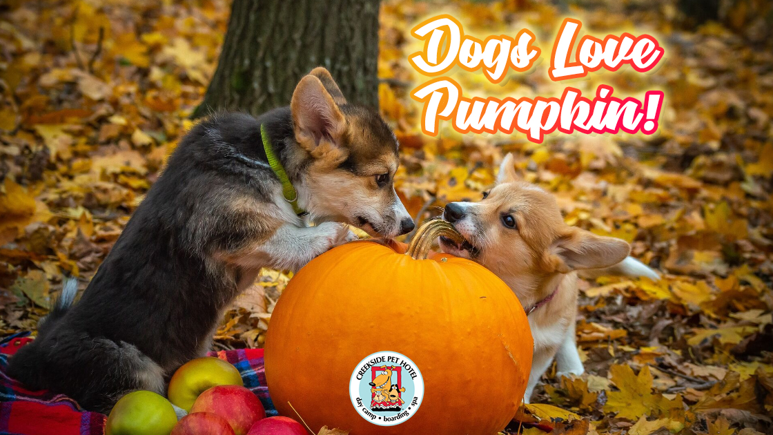 two cute corgi puppies playing in fall leaves with pumpkin apples